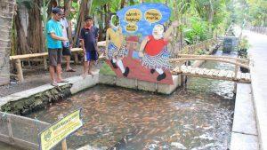 Melihat Selokan di Bantul yang Penuh dengan Ribuan Ikan Nila