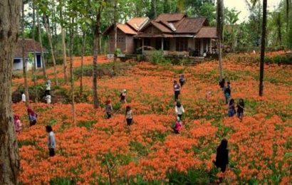 Bunga Amarilis Dulu Disia-sia, Kini Malah Membawa Berkah untuk Warga Gunungkidul