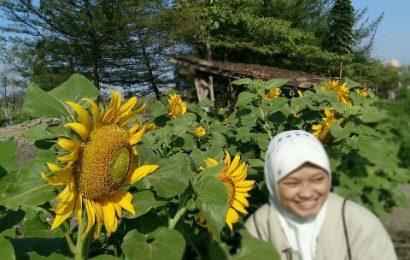Ternyata Jogja Sedang Dihadirkan Keindahan Ratusan Bunga Matahari